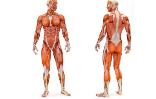 Diese Muskeln werden mit dem Stepper trainiert
