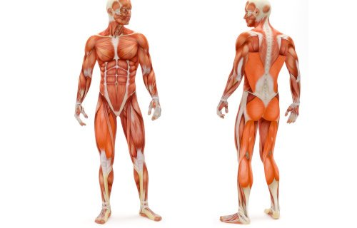 Welche Muskeln werden mit dem Crosstrainer trainiert?