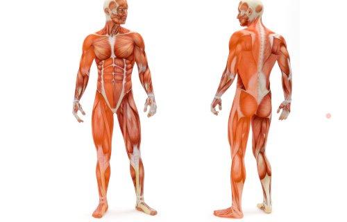 Welche Muskeln werden mit dem Rudergerät trainiert?